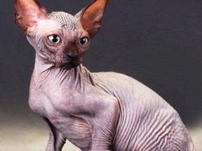 10 најсмешнијих раса мачака1