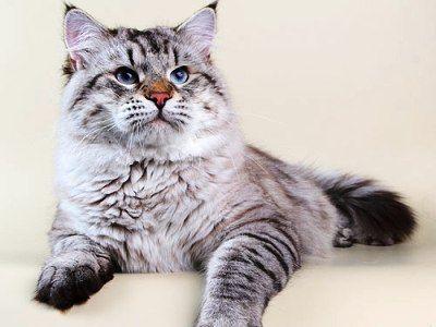 10 nejmódnějších plemen koček10