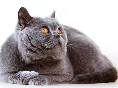 10 nejmódnějších plemen koček2