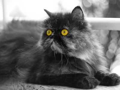10 nejmódnějších plemen koček3