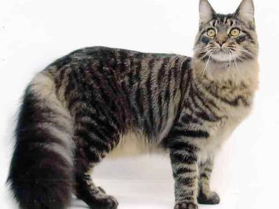 10 nejmódnějších plemen koček4