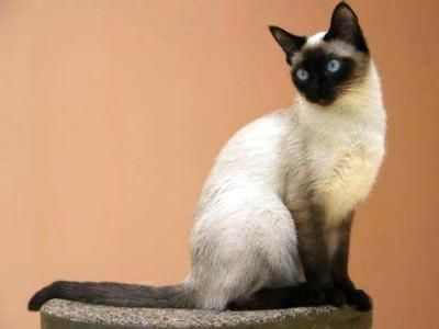 10 nejmódnějších plemen koček5