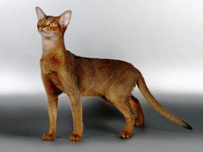 10 nejmódnějších plemen koček6
