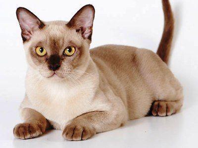 10 nejmódnějších plemen koček7