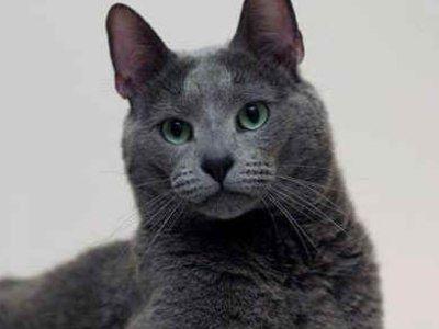 10 најсмешнијих раса мачака8