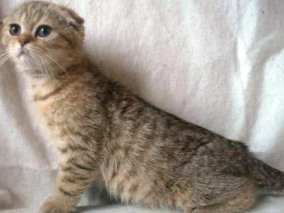 10 најмодернијих раса мачака9