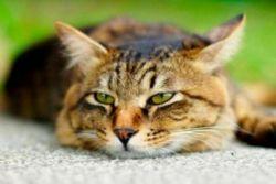 Objawy kota Pyometra