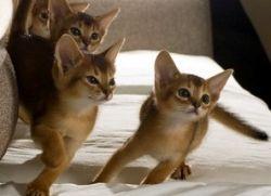 мачиће абисинске расе мачака