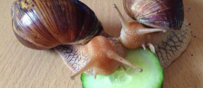Что едят улитки ахатины в домашних условиях