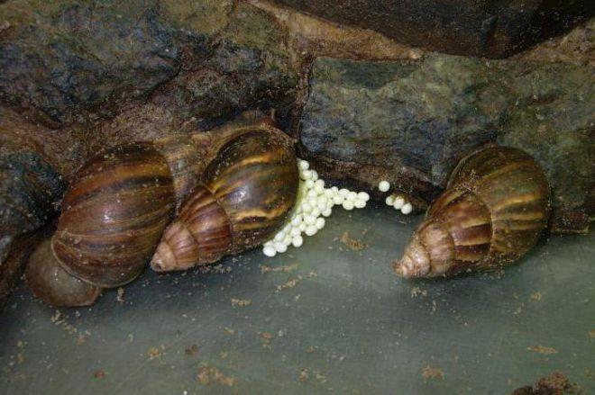 Яйца улиток ахатин