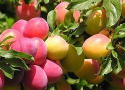 skład śliwki wiśniowej