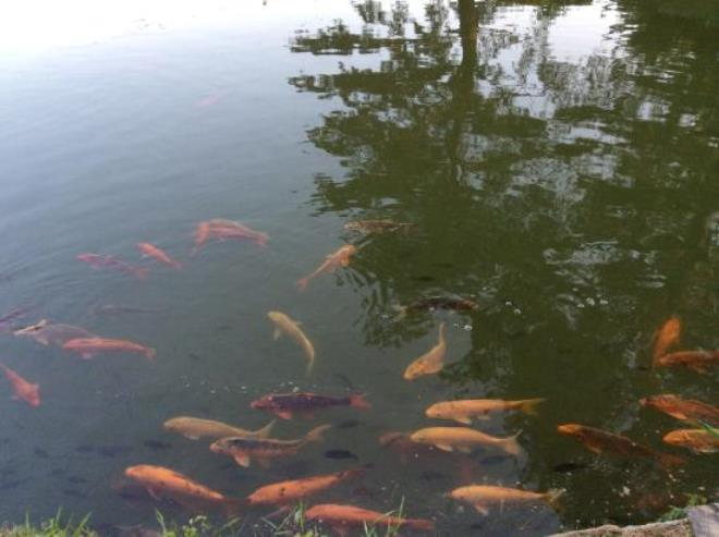 Золотые рыбки в пруду