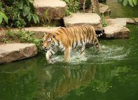 Амурский тигр тоже проживает в этом зоопарке