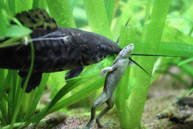 лягушки в аквариуме с рыбками совместимость
