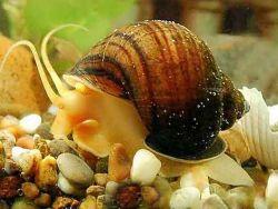 Czy ślimaki muszą być w akwarium?