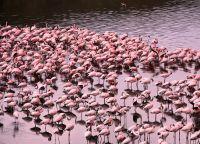 Фламинго на озере