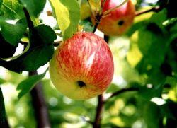 ябълка сорт shtriedel