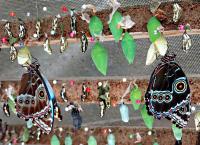 музей бабочек (марипасарио) - процесс появления бабочки