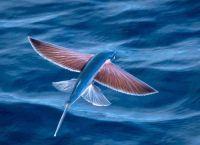 Летучая рыба. Барбадос