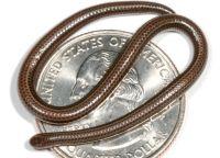 Самая маленькая змея в мире обитает на Барбадосе
