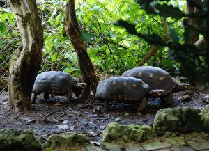 Красноногие черепахи в заповеднике дикой природы