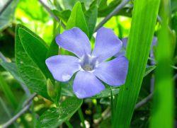 Właściwości lecznicze kwiatu barwinka