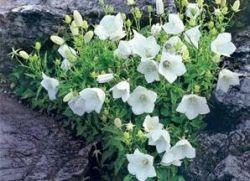 Dzwon karpacki z kwiatów