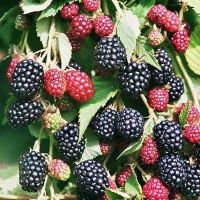Blackberry Berry Benefit and Harm