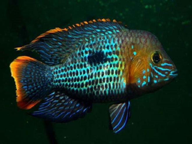 голубые акары размножение