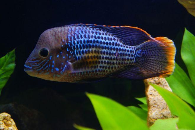 рыбы акары болезни