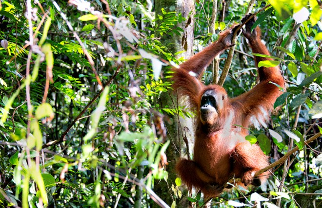 Орагнутанг в джунглях