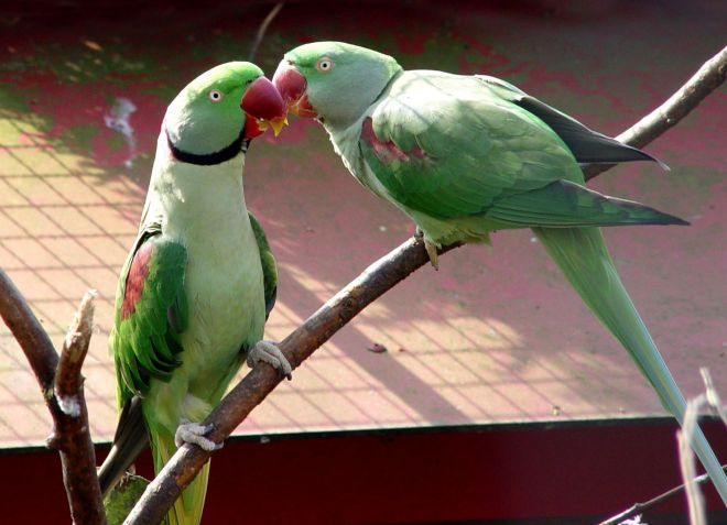 большие Александрийские попугаи