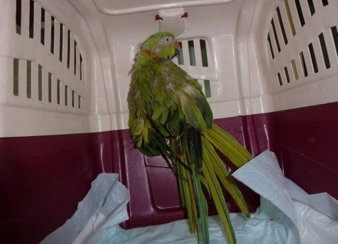 ожереловый попугай болезни