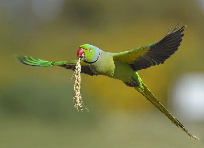 ожереловые попугаи Крамера