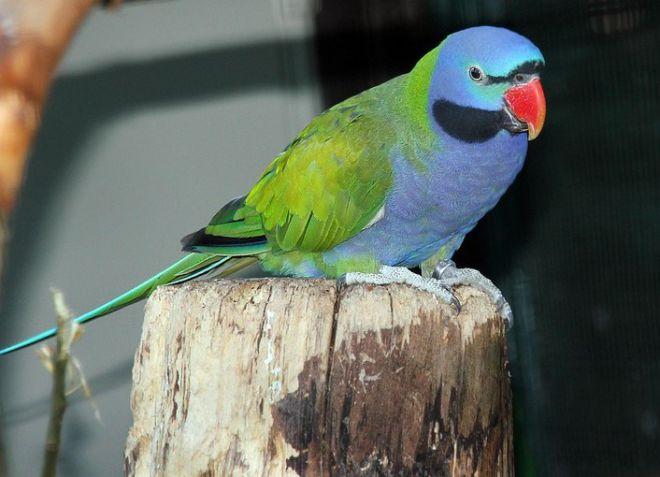 китайский ожереловый попугай