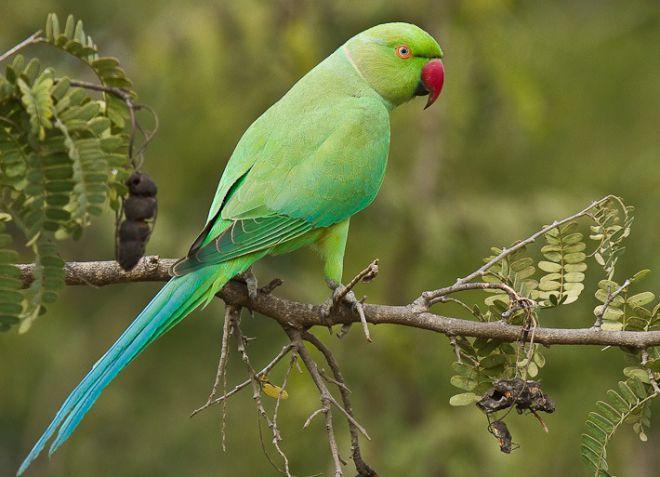 индийский ожереловый попугай
