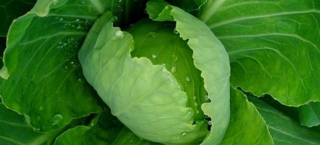 зелено листо с лактостаза