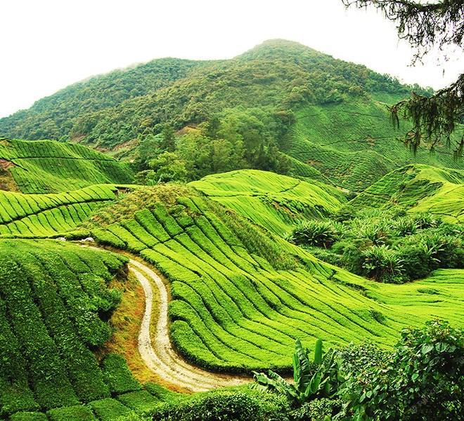 Чайные плантации Камерона