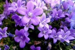 Цветята на Campanula се грижат