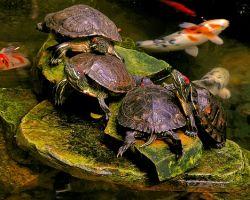 Условия содержания красноухих черепах