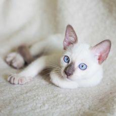 pierwsza ruja kota