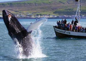 Туристы в Далвике наблюдают за китами