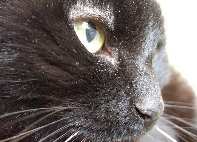 slike crnih ćelavih maca