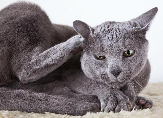 Crne dojke i maca
