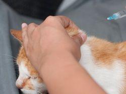 simptomi sladkorne bolezni pri mačkah 1