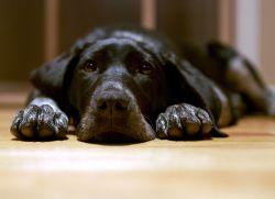 дијареје и повраћање код паса1