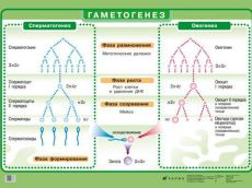 komparativna karakteristika oogeneze i spermatogeneze