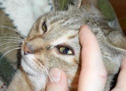 Cat dirofilariasis1