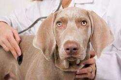 zdravljenje z dirofilarizo pri psih