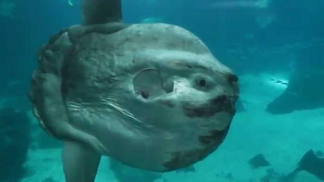 В августе в водах Нуса-Пенида можно встретить рыбу-солнце